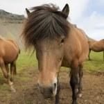 Iceland Horse — Stock Photo #12721068