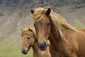 冰岛马 — 图库照片