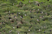 Puffins nest — Stock Photo