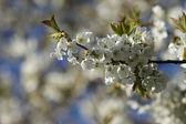 Flowering appletree — Stock Photo