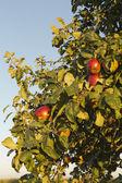 Appletree — Stock Photo
