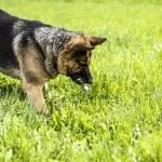 German shepherd hunting mouse — Stock Photo