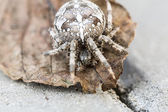 Big Orb spider on the leaf — Stock Photo