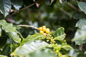 Coffee beans in the nature — Stock Photo