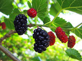 Mulberry berries — Stock Photo