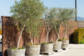 Olive trees in pots — Stock Photo