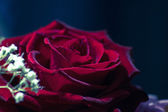 Red rose closeup — Stock Photo