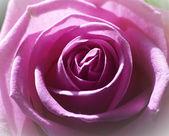 розовые розы крупным планом перо — Стоковое фото