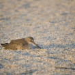 Постер, плакат: Sand Piper Sleeping on Beach