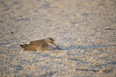 Sand Piper Sleeping on Beach — Stock Photo
