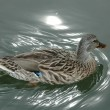 Duck swimming - Stock Photo