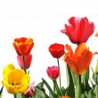 Royalty-Free Stock Photo: Tulips of various colors isolated on white