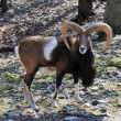 Stock Photo: Goat in wilderness