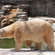Polar Bear walking — 图库照片