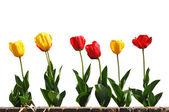 žluté a červené tulipány v řadě — Stock fotografie