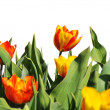 Tulips of various colors against a blue sky — Stock Photo