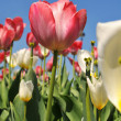 Tulips of various colors against a blue sky — Stock Photo #13167488