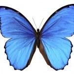 Постер, плакат: Butterfly in blue tones