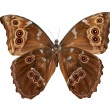 Butterfly (Morpho menelaus) bottom view - Stock Photo