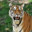 Stock Photo: Portait of Tiger