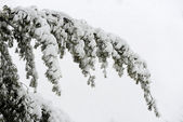 Tree branch covered with snow — Stock Photo