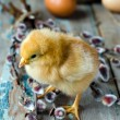 A newborn chick with twigs of willow - Stock Photo