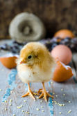 A newborn chick with twigs of willow — Stock Photo