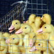 The little ducks - Stock Photo