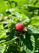 Raspberry on a branch — Stock Photo
