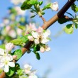 Stock Photo: Branch of Apple blossoms with bee
