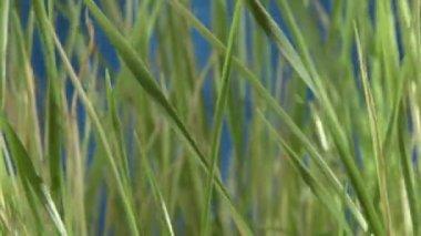 緑の草、バック青 — ストックビデオ