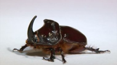 Rhinoceros beetle — Stock Video
