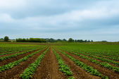 Green Bean Field with Rows of Green String Beans growing in the rich brown earth — Stock Photo