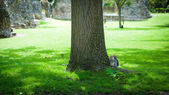 Squirrel under a tree, Bury St edmunds, Abbey Gardens, UK — Stock Photo