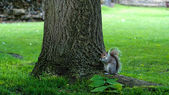 Squirrel in Abbey Garden, Bury St Edmunds, UK — Stock Photo