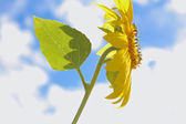 Sunflower Sky — Stock Photo