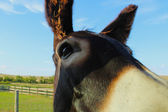 Burro Up Close — Photo