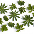 Leaves of various herbs — Stock Photo #12824629