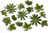 Bladeren van verschillende kruiden — Stockfoto