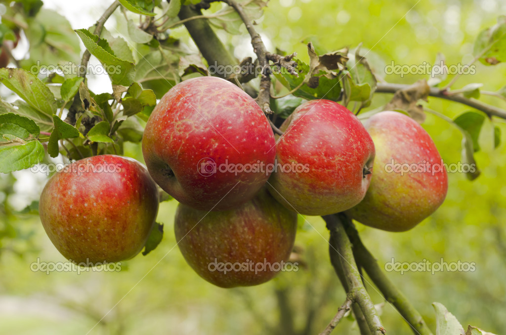 Ripe red apples grow on a branch — Stock Photo #12848045