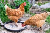 Hens feeding — Stock Photo