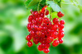 Red currant on a twig — Stock Photo
