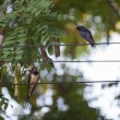 Swallows — Stock Photo #13132637