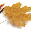 Maple leaf with  pencils — Zdjęcie stockowe