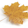 Photo: Maple leaf