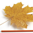 Maple leaf with a pencil — 图库照片