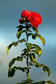 Rosa del jardín — Foto de Stock