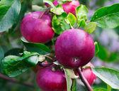 Ripe apples on the brach — Stock Photo
