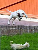 American bulldog puppy playing with chihuahua — Stock Photo