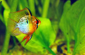 Butterfly Cichlid — Stock Photo